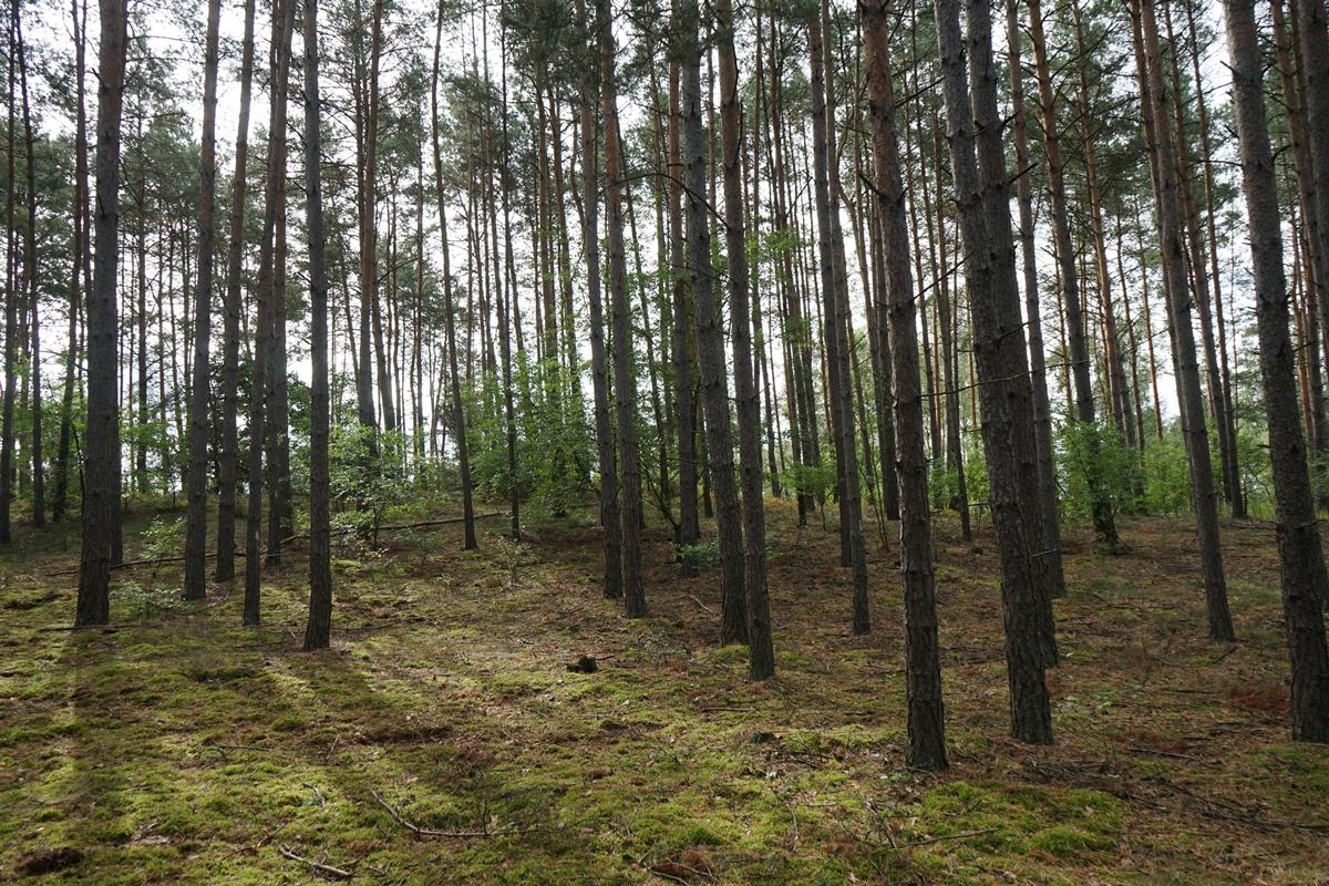 Widok od strony ścieżki leśnej na wzniesienie cmentarne (od północnego zachodu)